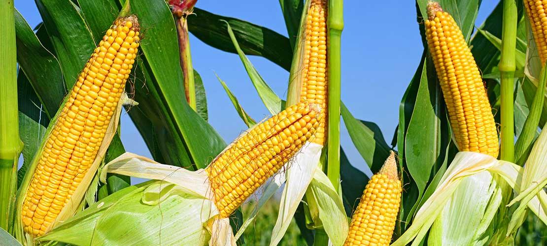 kwasy humusowe w uprawie kukurydzy