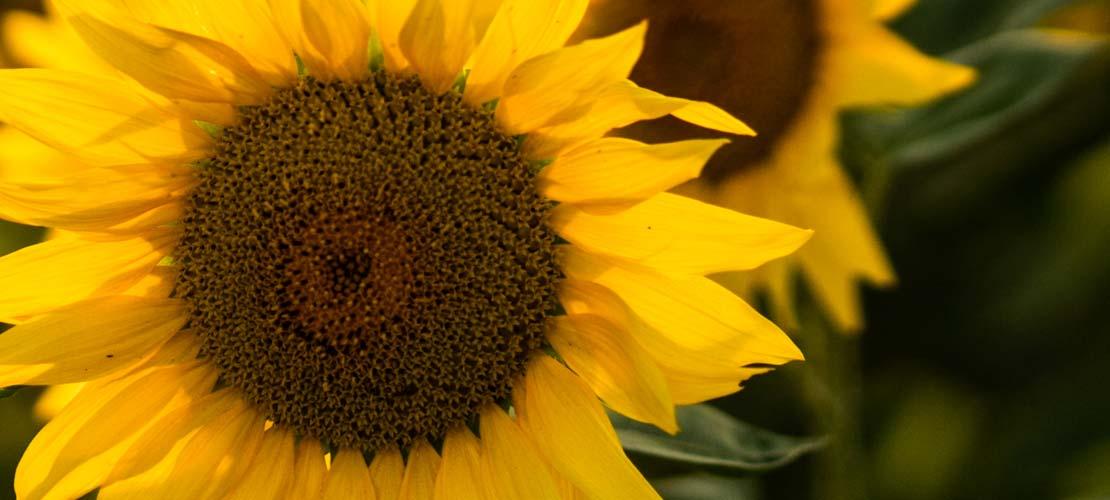 słonecznik kwasy humusowe na wzrost rośliny